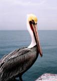 Pelican on the Pier #2