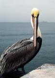 Pelican on the Pier #1