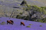 Brown Cows and Purple Fields.jpg