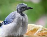 Little Blue Vulture in a Birdbath