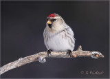 Redpoll Contact