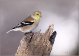 Winter's Goldfinch