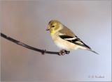 Goldfinch Natural Light