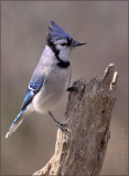 Bluejay In The Sidelight
