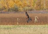 Northern Harrier Harvest