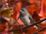 Junco on Red