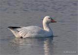 Snow Goose on Grey