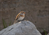 Snow Bunting on the rocks
