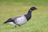 Brandt Goose from last year (2006)