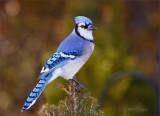 BlueCrow.jpg