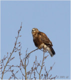 Monster Crop of a Rough Legged hawk