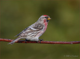 Common Redpoll on Green