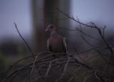 bare-eyed dove