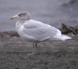 glaucous gull / grote burgemeester