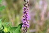 Narrow Leaf Gay Flower (Liatris mucronata)