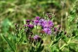 Plains Ironweed (Vernonia marginata)