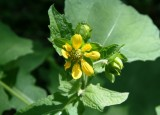 Simpsons Rosin Weed (Silphium gracile)
