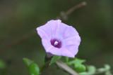 Sharp Bulb Morning Glory (Ipomoea trichocaro)