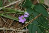 Violet Wood Sorrel (Oxalis violacea)