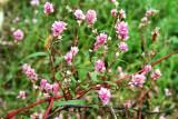Curl-Top Smartweed (Polygonum lapathifolium)