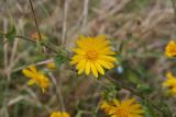 Golden Aster (Heterotheca subaxillaris)