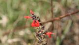 Tropical Sage (Salvia cocconea)