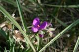 Prairie Spiderwort (Tradescantia occidentalis)