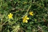 Carolina Buttercup (Ranunculus carolinianus)