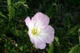 Showy Evening-Primrose (Oenothera Speciosa)