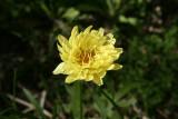 Texas Dandelion (Pyrrhoppus multicaulis)