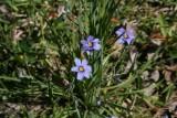 Blue-Eyed Grass,Narrow Leaved (Sisyrinchium agustifolium)