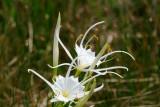 Spider Lilly (Hymenocallis liriosme)