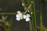 Beaked Burrhead (Echinadorus rostratus)