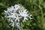 Showy Blue-Star (Amsonia tabernaemontana)