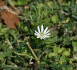 Ten-Petal Anemone (Anemone berlandieri)