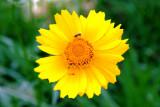Coreopsis, Lance Leaved (Coreopsis lanceodata)