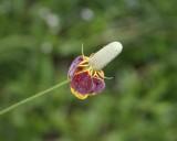 Mexican Hat, Prairie Coneflower ( Ratibida columnifera)