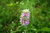 Spotted-Bee Balm (Monarda punctata)