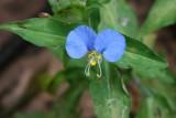 Erect Day Flower (Commelina erecta)