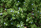 Persian Speedwell (Veronica persica)