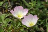 Showy Primrose (Oenothera speciosa)