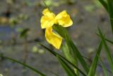 Yellow Iris (Yellow Flag)