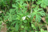 Carolina Geranium (Germanium carolinianum)