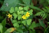 Yellow Wood Sorrel (Oxalis dillenii)