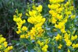 Wild Indigo, Plains ((Baptisia bracteata)