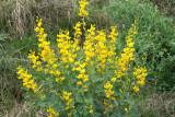Wild Indigo, Plains (Baptisia bracteata)
