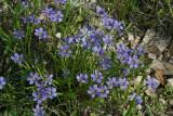 Blue Eyed Grass (Sisyrinchium agustifolium)