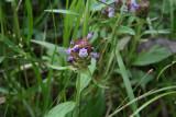 Self-Heal (Prunella vulgaris)