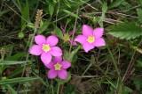 Meadow Pink (Sabatia campestris)