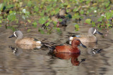 Cinnamon Teal and Blue-winged Teal